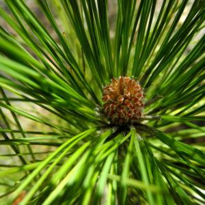 Kanarische Kiefer Bluete braun Pinus canariensis 03