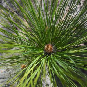 Kanarische Kiefer Nadeln gruen Pinus canariensis 01