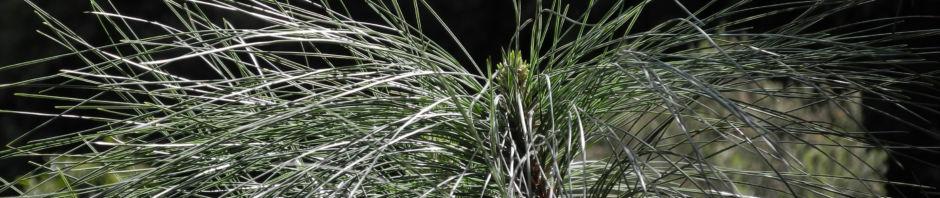 Anklicken um das ganze Bild zu sehen  Kanarische Kiefer Nadeln grün Pinus canariensis