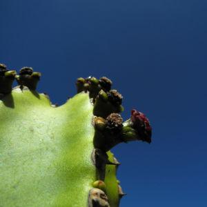 Kanarische Wolfsmilch Bluete rot Euphorbia canariensis 03