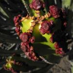 Kanarische Wolfsmilch Bluete rot Euphorbia canariensis 09