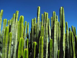 Kanarische Wolfsmilch Staengel gruen Euphorbia canariensis 01