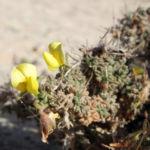 Kanarischer Druesenginster Bluete gelb Adenocarpus foliolosus 05