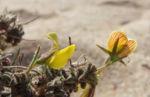 Kanarischer Druesenginster Bluete gelb Adenocarpus foliolosus 09