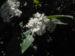 Zurück zum kompletten Bilderset Kanarischer-Schneeball Blüte weiß Viburnum tinus
