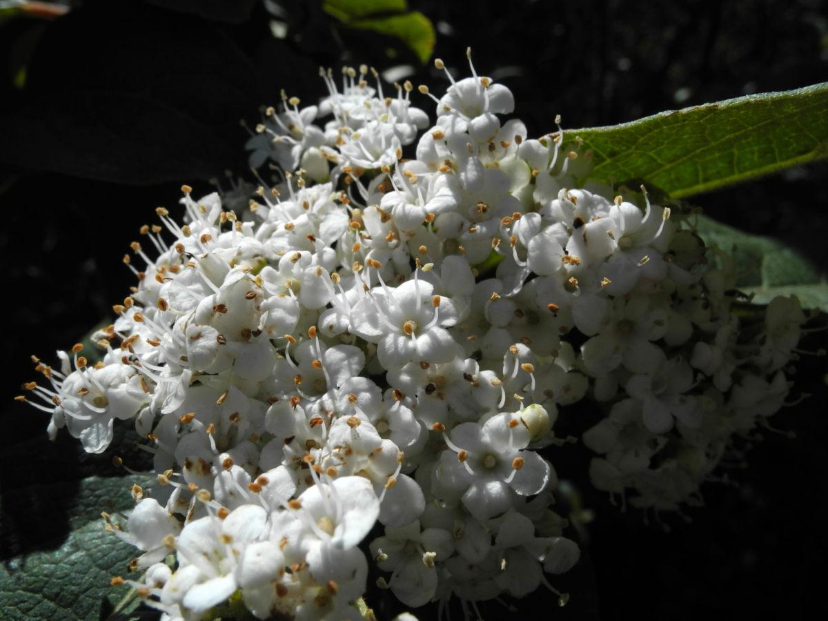 Kanarischer Schneeball Bluete weiß Viburnum tinus