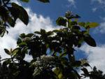 Kanarischer Schneeball Bluete weiß Viburnum tinus 07