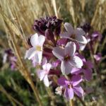 Kanarischer Schoeterich Bluete pink Erysimum scoparium 02