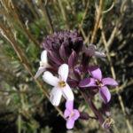Kanarischer Schoeterich Bluete pink Erysimum scoparium 03