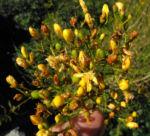 Kanarisches Johanniskraut Bluete gelb Hypericum canariensis 04