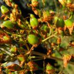 Kanarisches Johanniskraut Bluete gelb Hypericum canariensis 09