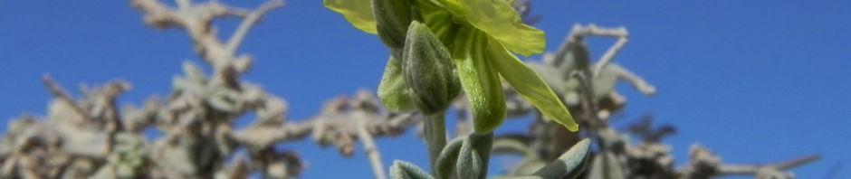 kanarisches-sonnenroeschen-bluete-gelb-helianthemum-canariense