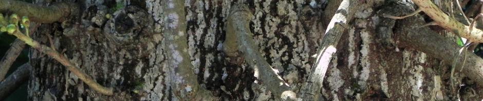 kanonenkugel-baum-cannonball-tree-frucht-braun-knospe-rot-blatt-gruen-couroupita-guianensis