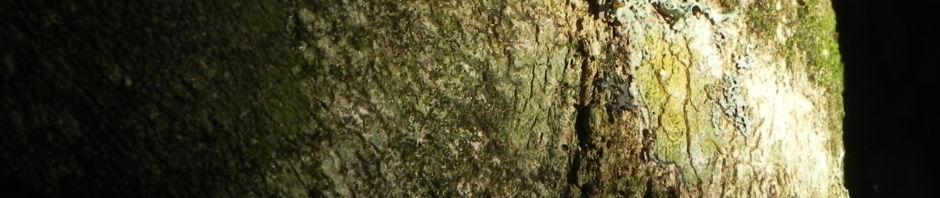 kanonenkugelbaum-frucht-braun-couroupita-guianensis