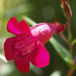 Kap Fuchsie Bluete rot Phygelius capensis 05