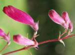Kap Fuchsie Bluete rot Phygelius capensis 12