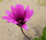 Kapkoerbchen Blute lila Osteospermum barberae 08