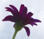 Kapkoerbchen Blute lila Osteospermum barberae 14