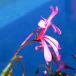 Kapland Pelargonie Bluete pink Pelargonium reniforme