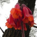 Kaplilie Bluete orange rot Veltheimia bracteata 06