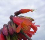 Kaplilie Bluete orange rot Veltheimia bracteata 11
