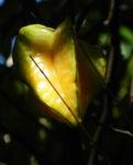 Karambole Karambola Sternfrucht gelb Averrhoa carambola 05