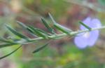 Karpaten Lein Blatt gruen Linum extraaxillare 03