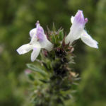 Karst Bergminze Bluete weiss pink Satureja montana 02