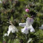 Karst Bergminze Bluete weiss pink Satureja montana 04