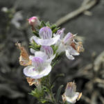 Karst Bergminze Bluete weiss pink Satureja montana 06