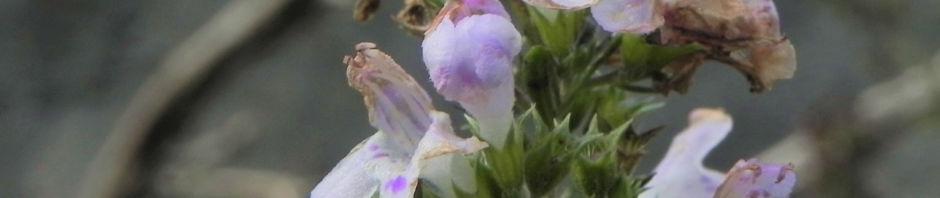 karst-bergminze-bluete-weiss-pink-satureja-montana