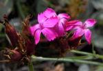 Kartaeusernelke Bluete pink Dianthus carthusianorum 06