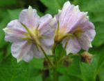 Kartoffel Bluete rosa Frucht gruen Solanum tuberosum 06