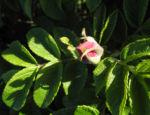 Kartoffel Rose Bluete rosa rosa rugosa 08