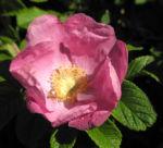 Kartoffel Rose Bluete rosa rosa rugosa 13