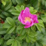 Kartoffel Rose Bluete rosa Rosa rugosa 16