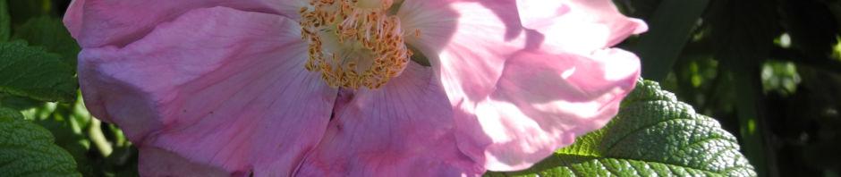 kartoffel-rose-bluete-rosa-rugosa