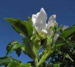 Kartoffel Rose Bluete weiß rosa rugosa 07