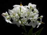 Kartoffelstrauch Bluete weiss Solanum laxum 03