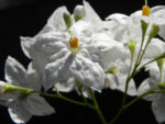 Kartoffelstrauch Bluete weiss Solanum laxum 04