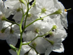 Kartoffelstrauch Bluete weiss Solanum laxum 07