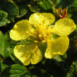 Keilblaettriges Fingerkraut Bluete gelb Potentilla ambigua 06