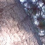 Kiefer Pinus 01