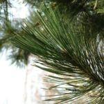Kiefer Pinus 02