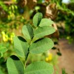 Kilikischer Blasenstrauch Blatt gruen Colutea cilicica 03