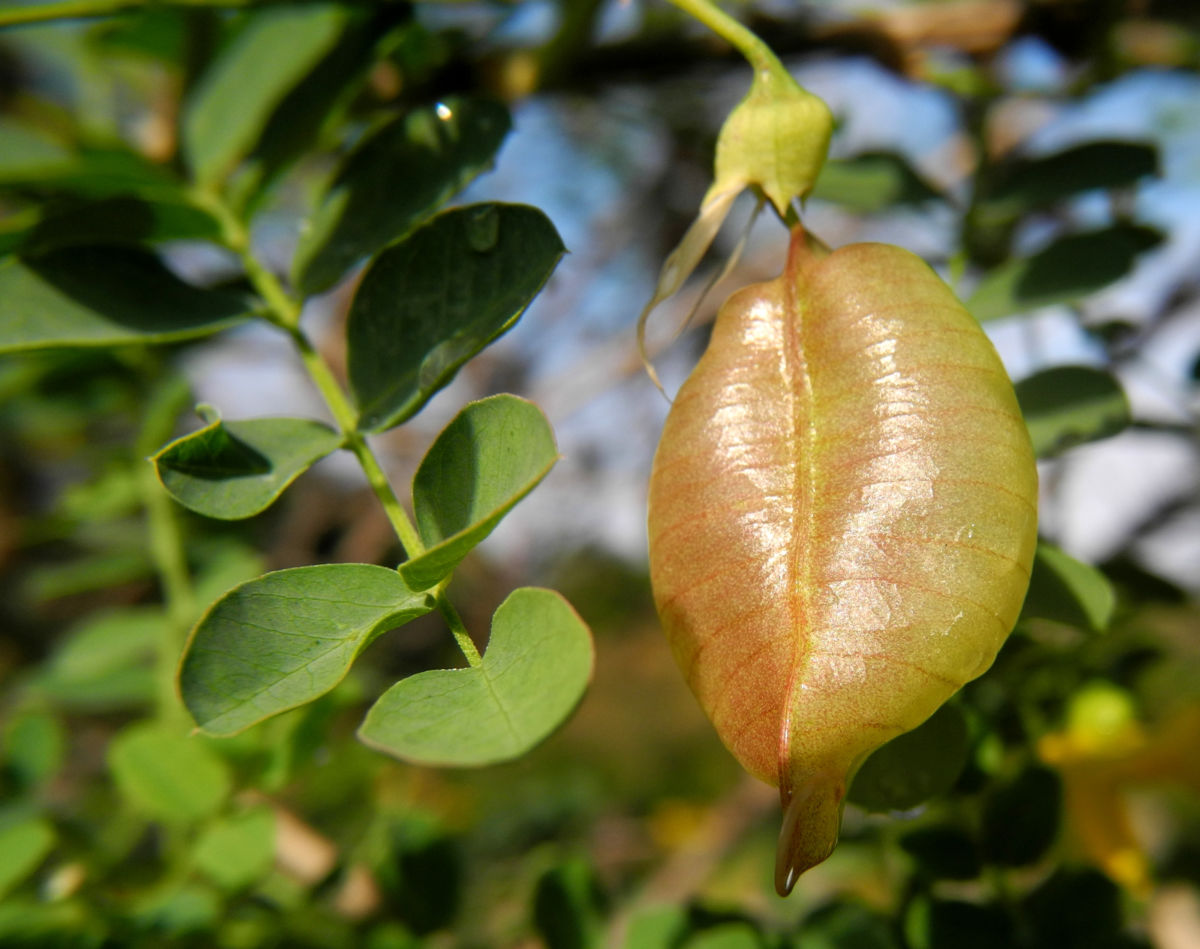Kilikischer Blasenstrauch Schoten gruen Colutea cilicica