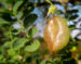 Zurück zum kompletten Bilderset Kilikischer Blasenstrauch Colutea cilicica