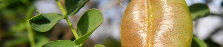 kilikischer-blasenstrauch-colutea-cilicica