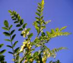 Kilikischer Blasenstrauch Colutea cilicica 01
