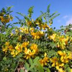 Kilikischer Blasenstrauch Colutea cilicica 02